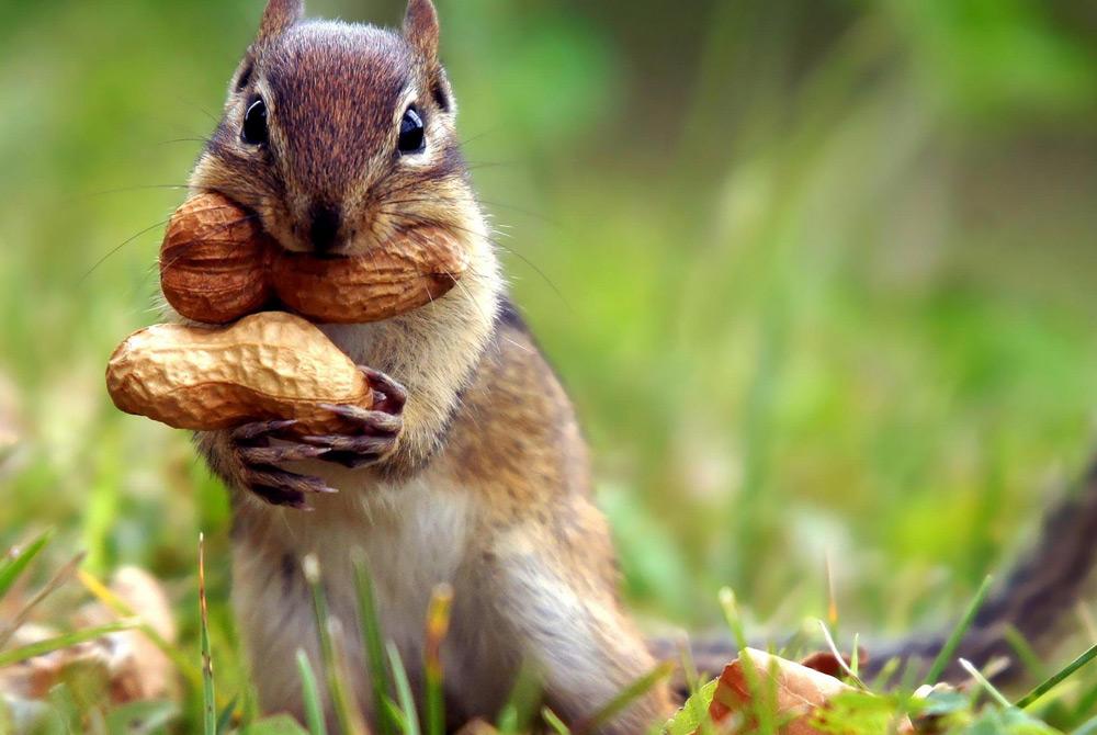 Ardilla comiendo