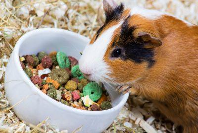 Cobaya comiendo cereales