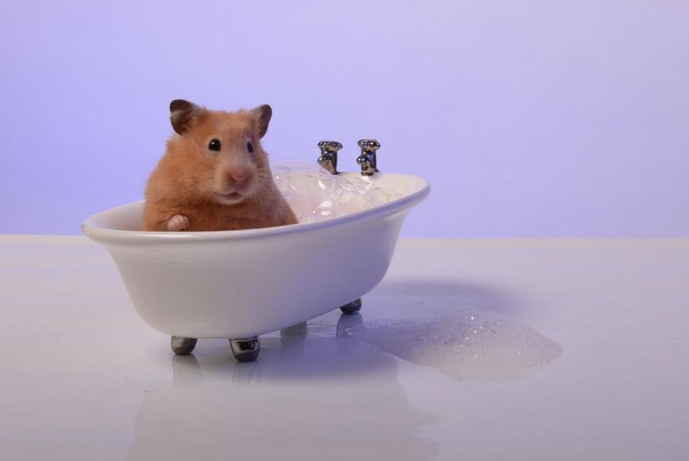 Hamster siempre limpio!