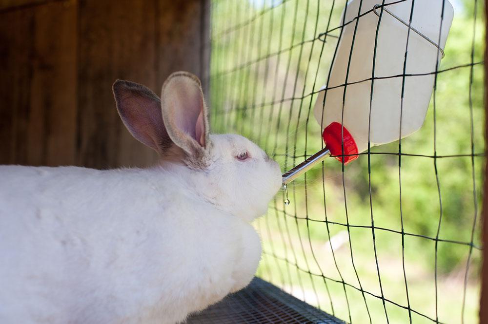 Bebedor para conejos