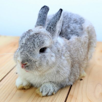 Conejo adulto