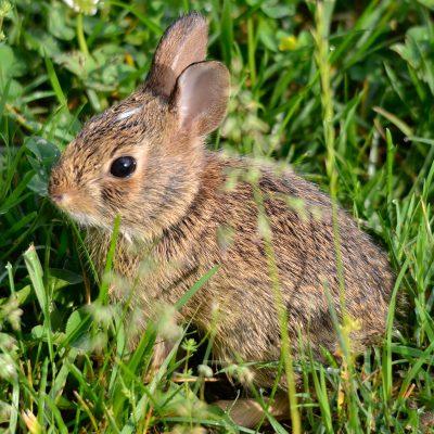 Conejo adolescente