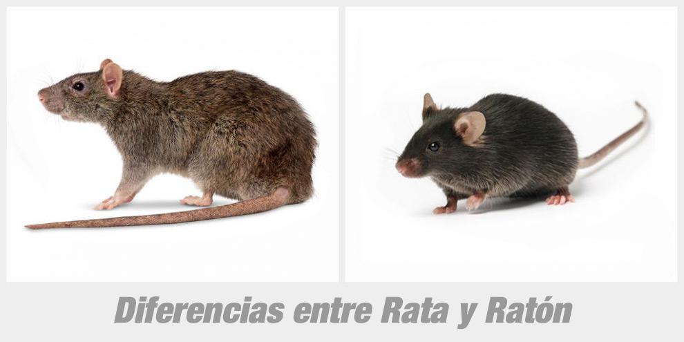 Ratas caracter sticas tipos y consejos roedores for Diferencia entre yeso y escayola