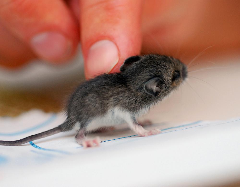 ratones � caracter237sticas tipos y consejos � roedores