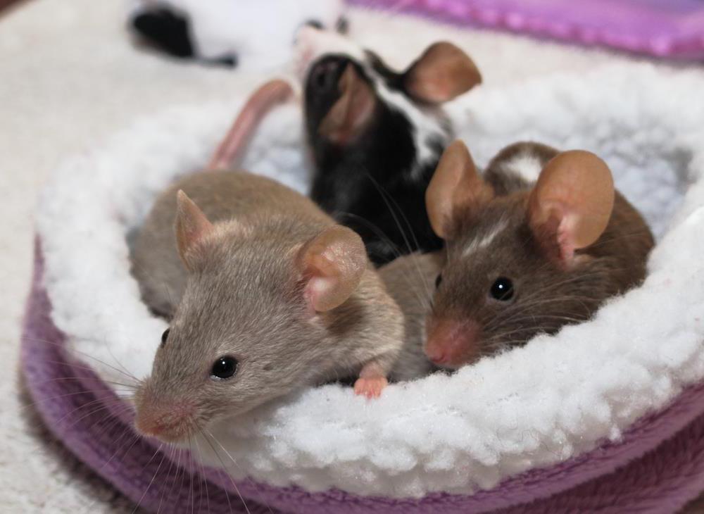 Como cazar ratones en casa free aunque est concebido para la caza y captura de ratas y ratones - Como atrapar ratones ...