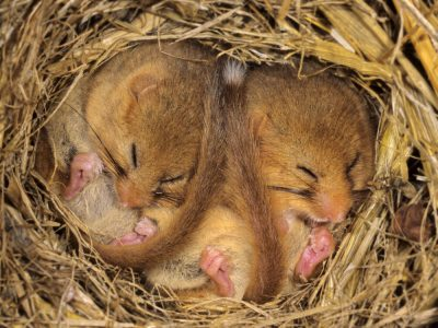 Lirones hibernando