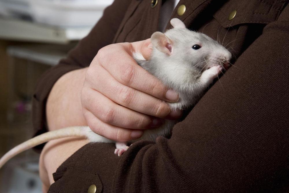 Precauciones al adoptar a un roedor