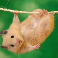hamsters-wallpaper-1-roedoresdomesticos