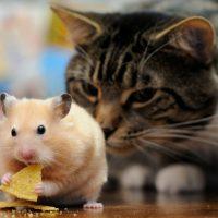 hamsters-wallpaper-2-roedoresdomesticos