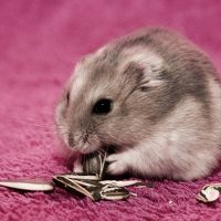 hamsters-wallpaper-4-roedoresdomesticos