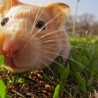 hamsters-wallpaper-6-roedoresdomesticos