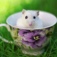 hamsters-wallpaper-8-roedoresdomesticos