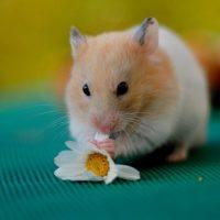 hamsters-wallpaper-9-roedoresdomesticos