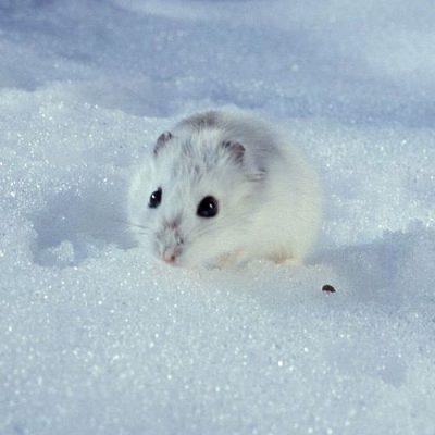 Hámster ruso en la nieve
