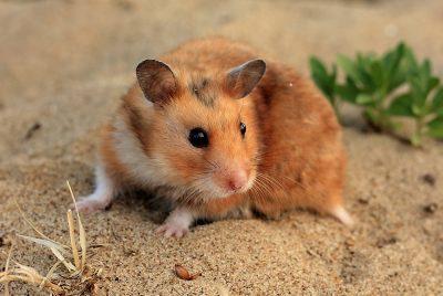 Hamster Sirio Taxonomía